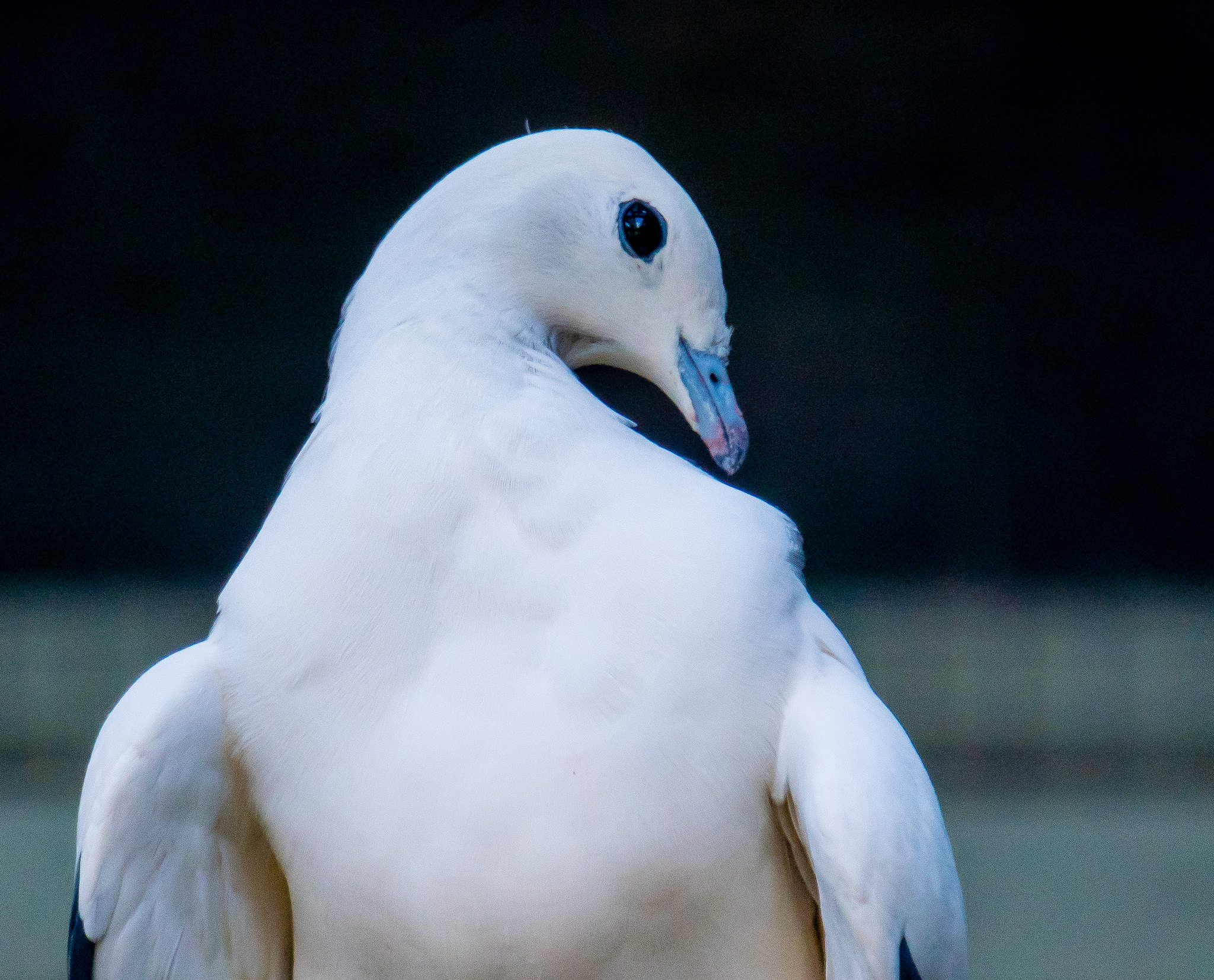 Pied Imperial Pigeon_1
