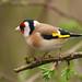 27 Goldfinch