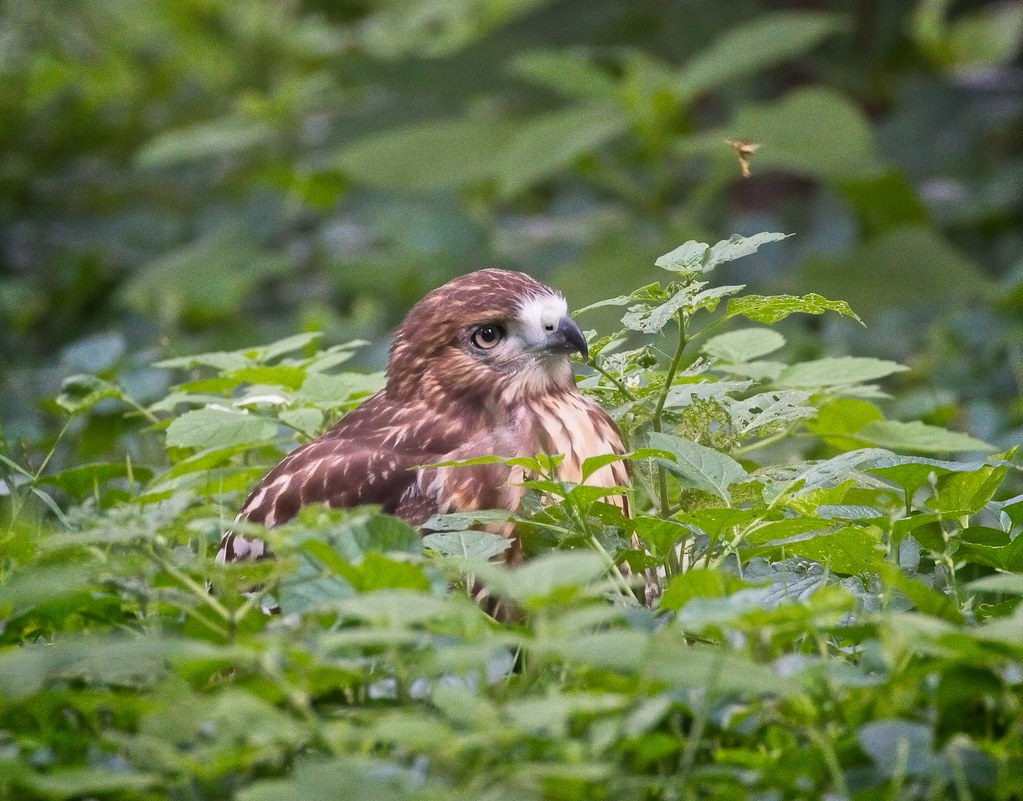 Tompkins Square red-tail fledgling looks at insect