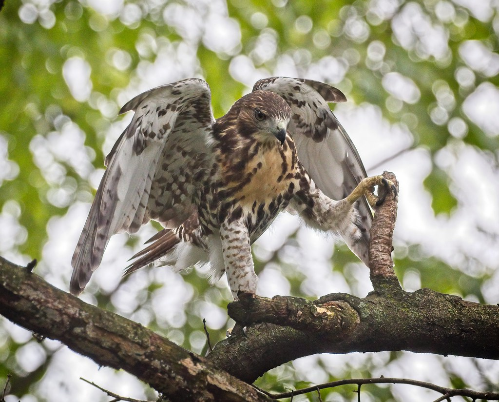 Hawklet conquers the branch