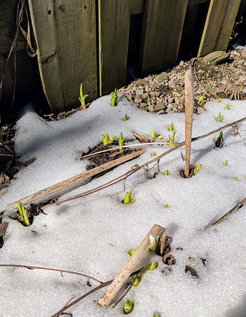 Sprouting daylilies in the snow