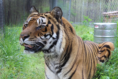 Tiger Kaari