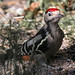 Great Spotted Woodpecker ( Dendrocopos major )