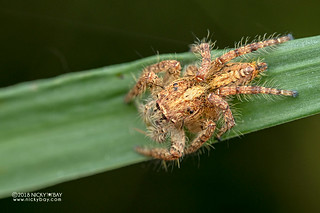 Jumping spider (Hyllus sp.) - DSC_4218