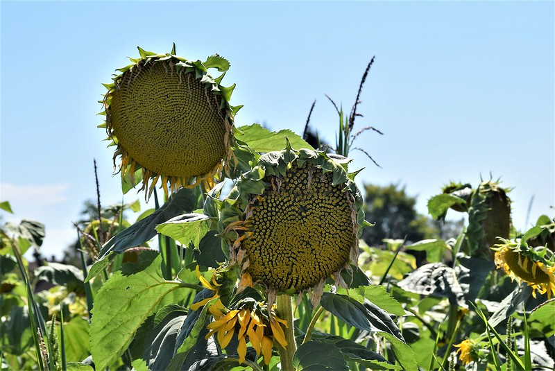 Sunflowers 26.07 (4)