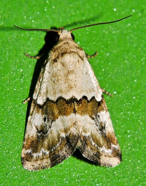 Nob nose Moth Maliattha sp aff amorpha Acontiinae Noctuoidea Airlie Beach rainforest P1230457
