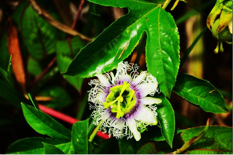 百香果(花)