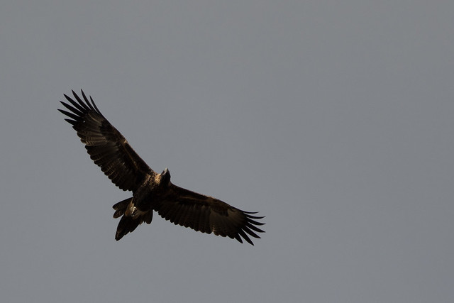 Wedge-tailed eagle (Aquila audax)