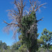 Carpobrotus edulis, Jandakot Regional Park, near Perth, WA, 18/03/18
