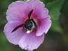 Photo:Japanese carpenter bee (クマバチ) By Greg Peterson in Japan