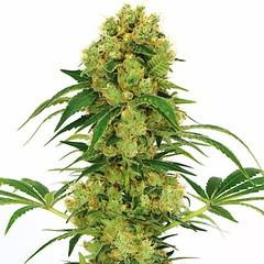 big-bud-marijuana-seeds_large