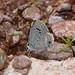 Reakirt's Blue (Hemiargus isola, Lycaenidae) por awight64