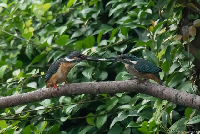 20180716-kingfisher-DSC_6851