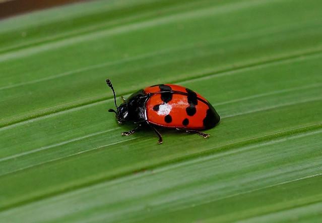 Pleasing Fungus Beetle --- to be identified