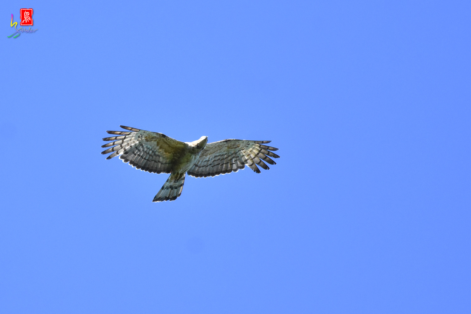 Honey_Buzzard_0230