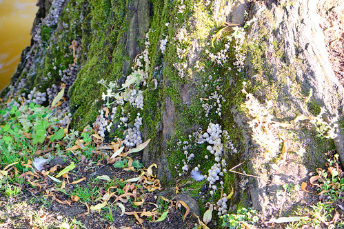 Fairies' bonnets inkcap at base of tree