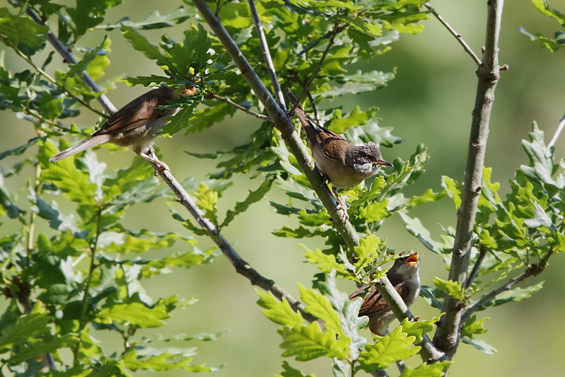 Whitethroat Family