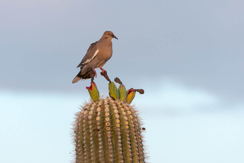 A white-winged dove straddles two pieces of fruit on a saguaro cactus on the Latigo Trail in McDowell Sonoran Preserve in Scottsdale, Arizona