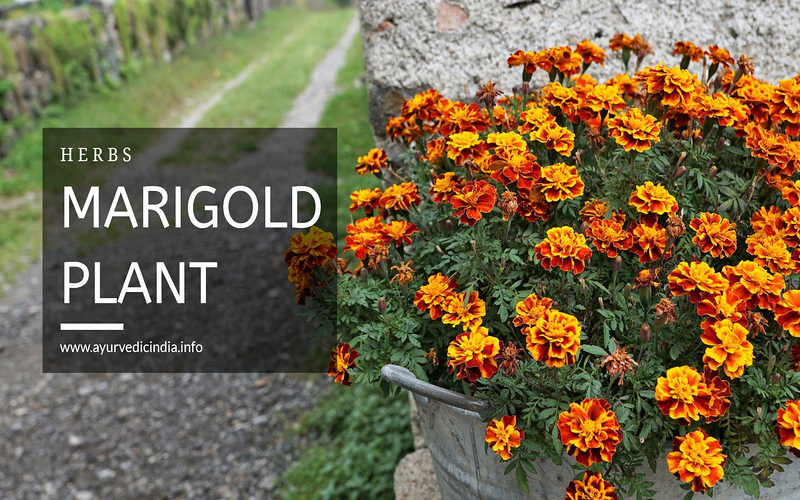Top 10 Benefits & Uses Of Marigold Leaves For Health