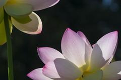 Lotus in space