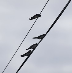 Four Swallows on Telephone Lines