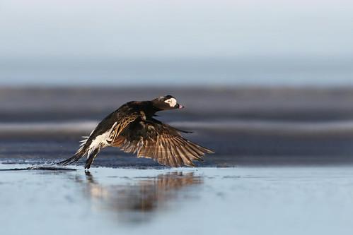 harelde kakawi / long-tailed duck take off