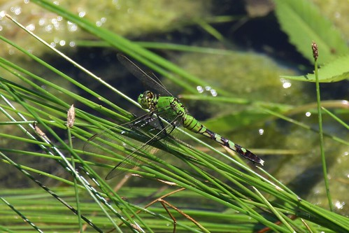 IMG_12136_Female_Eastern_Pondhawk_Dragonfly