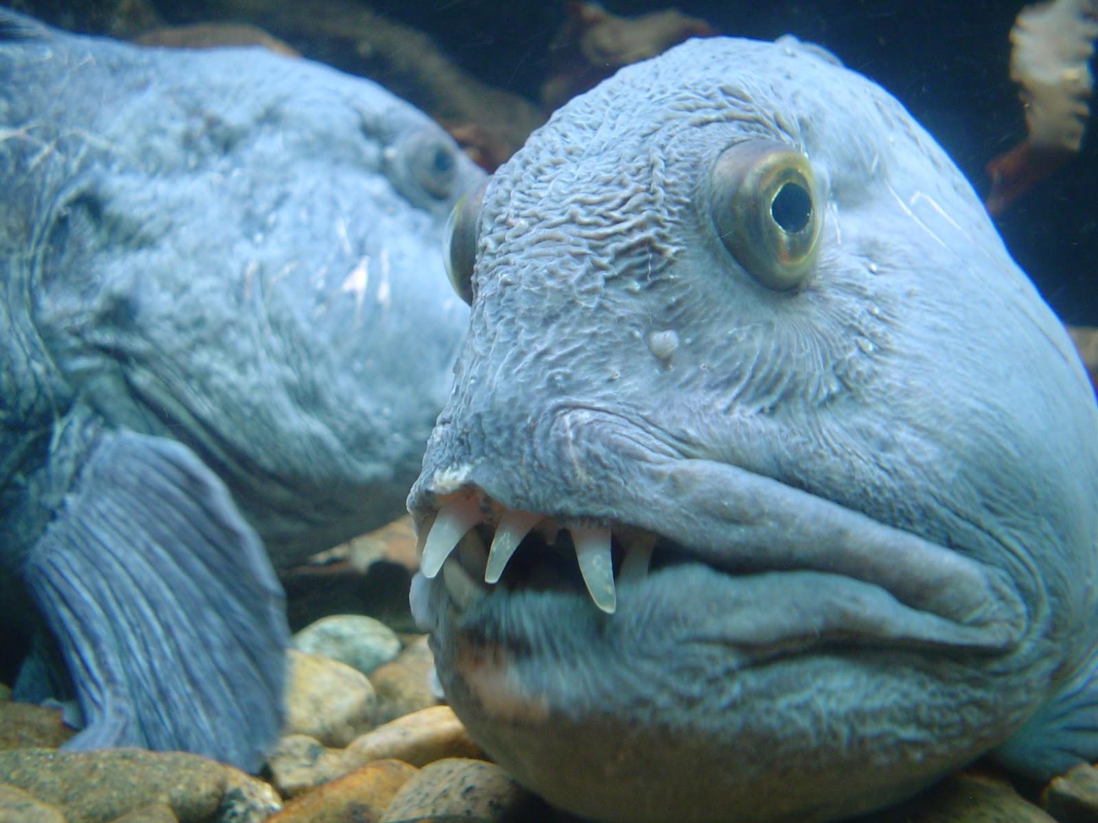 Atlantic wolffish teeth