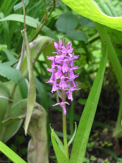 Dactylorzhia majalis subsp. praetermissa