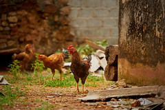 Chickens on a farm