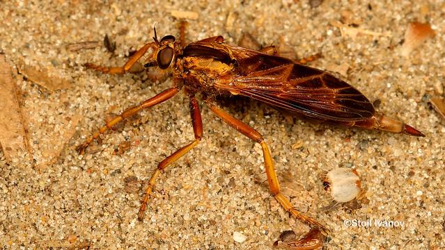 Robber fly - Asilus sericeus