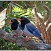 Red billed Blue Magpie.  ( Urocissa erythroryncha)