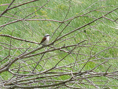 Red-backed Shrike Tuscany