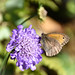 Meadow Brown Butterfly, on Scabious