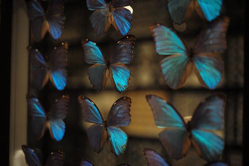 butterfly's specimen