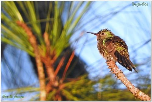 Beija-flor-de-garganta-verde_Monte Dourado-Pará-PA