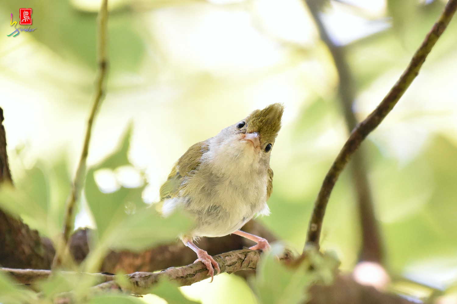 White-bellied_Yuhina_9787