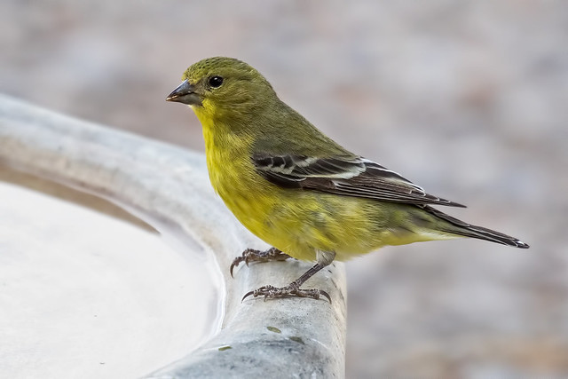 Lesser-Goldfinch-5-7D2-070318