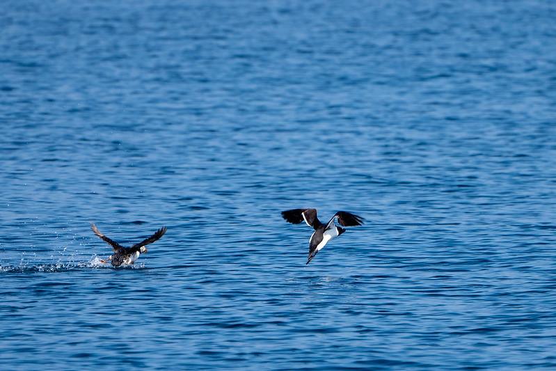Puffin and Razorbill taking off