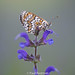 Glanville Fritillary, Lot Valley, France