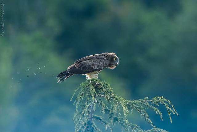 Circaète Jean-le-Blanc Circaetus gallicus - Short-toed Snake Eagle
