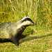 Badger foraging for food