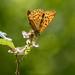 Summer Woodland Fritillary