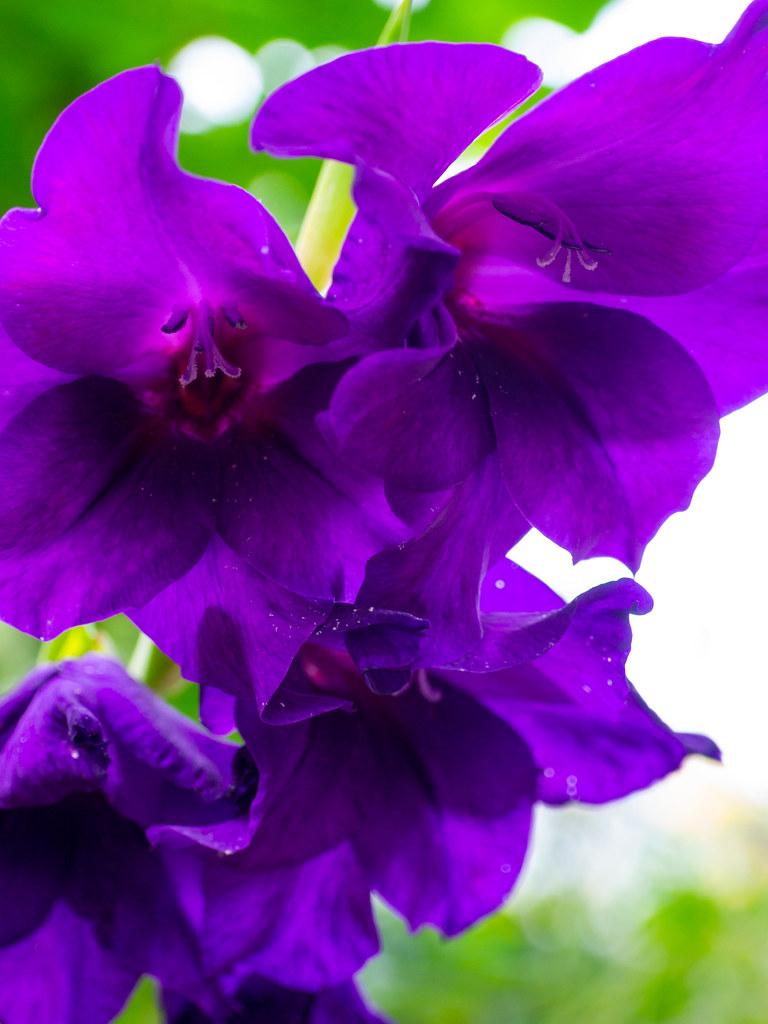 A mauve gladiolus