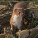 Stoat 20-04-2018 Hollesley Marshes_F8A8131 by nick5943