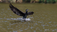 Kormoran - Phalacrocorax carbo - Cormorant