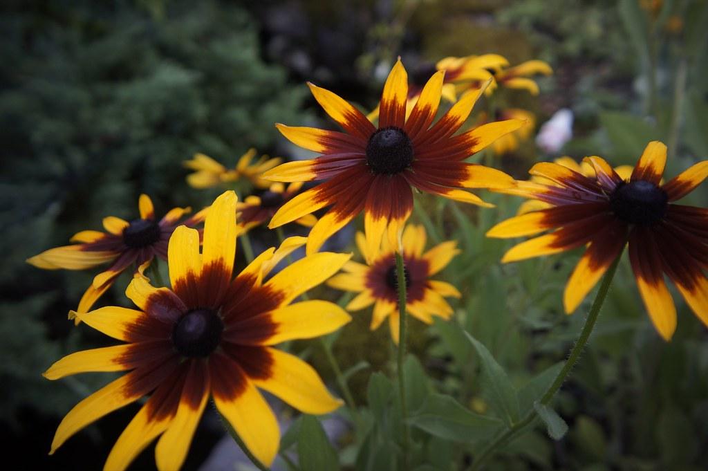 紫陽花とルドベキア