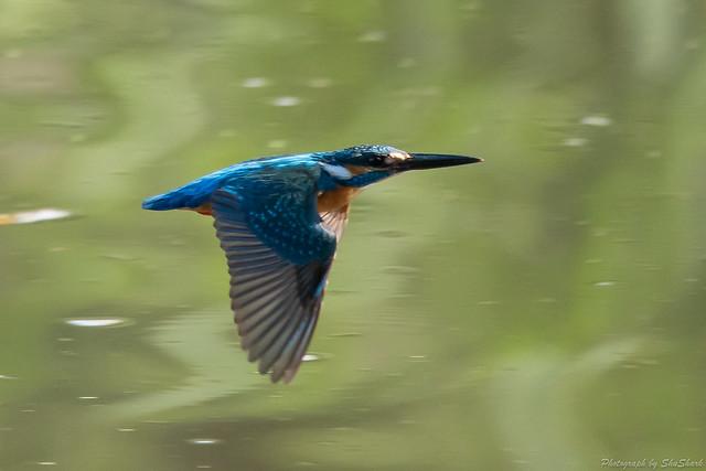 20180701-kingfisher-DSC_5834