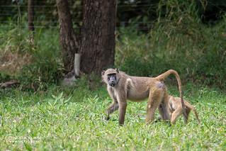 Baboons (Papio sp.) - DSC_5749