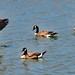 The Leader of the gaggle of Geese by MyRidgebacks - Sharon C Johnson